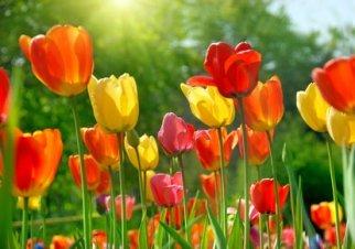 Beautiful yellow, orange and red tulips in sunshine.