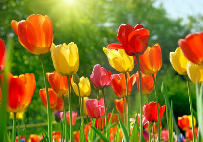 Beautiful yellow, orange and red tulips in sunshine.